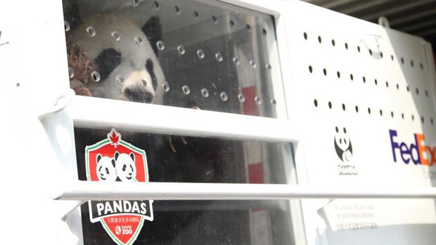 One of the two giant pandas coming to the Toronto Zoo. Photo from FedEx's Panda Express blog.