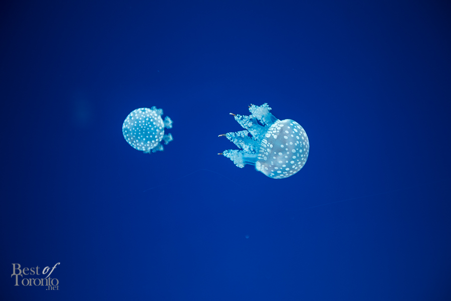 Australian spotted jelly