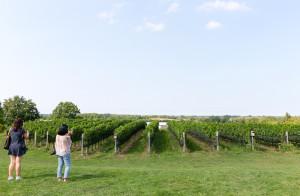 A view of Ravine Vineyard